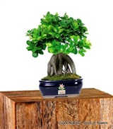 Orta Boy Bonsai